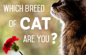 Which_Breed_Of_Cat_Are_You_Featured